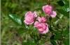 Купить Rizactive Rose, 10 мл